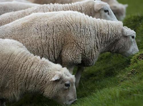 BNF Lamb Trim Case