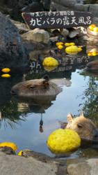 Onsen Capybaras