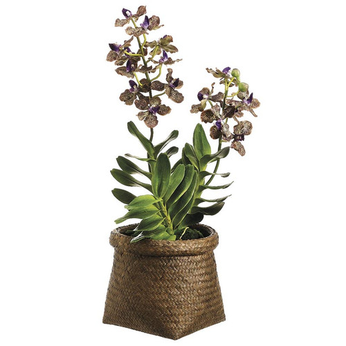Vanda Orchid in Basket 22""