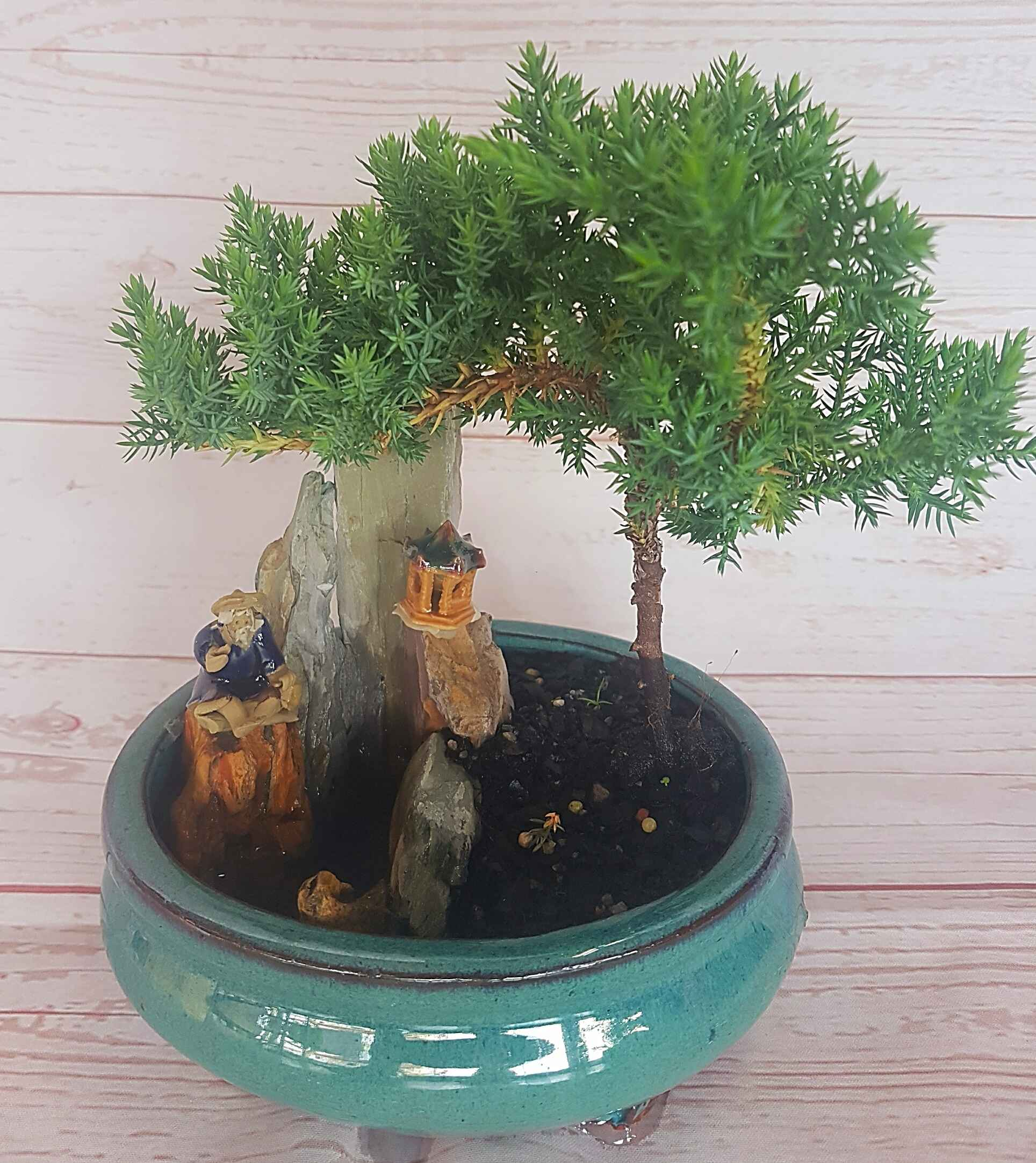 Juniper, a serene bonsai, 21cm in height,  presented in a novel ceramic container, purchased from Bonsai grower Sam Chen.  A welcomed addition to a garden, information sheet provided.