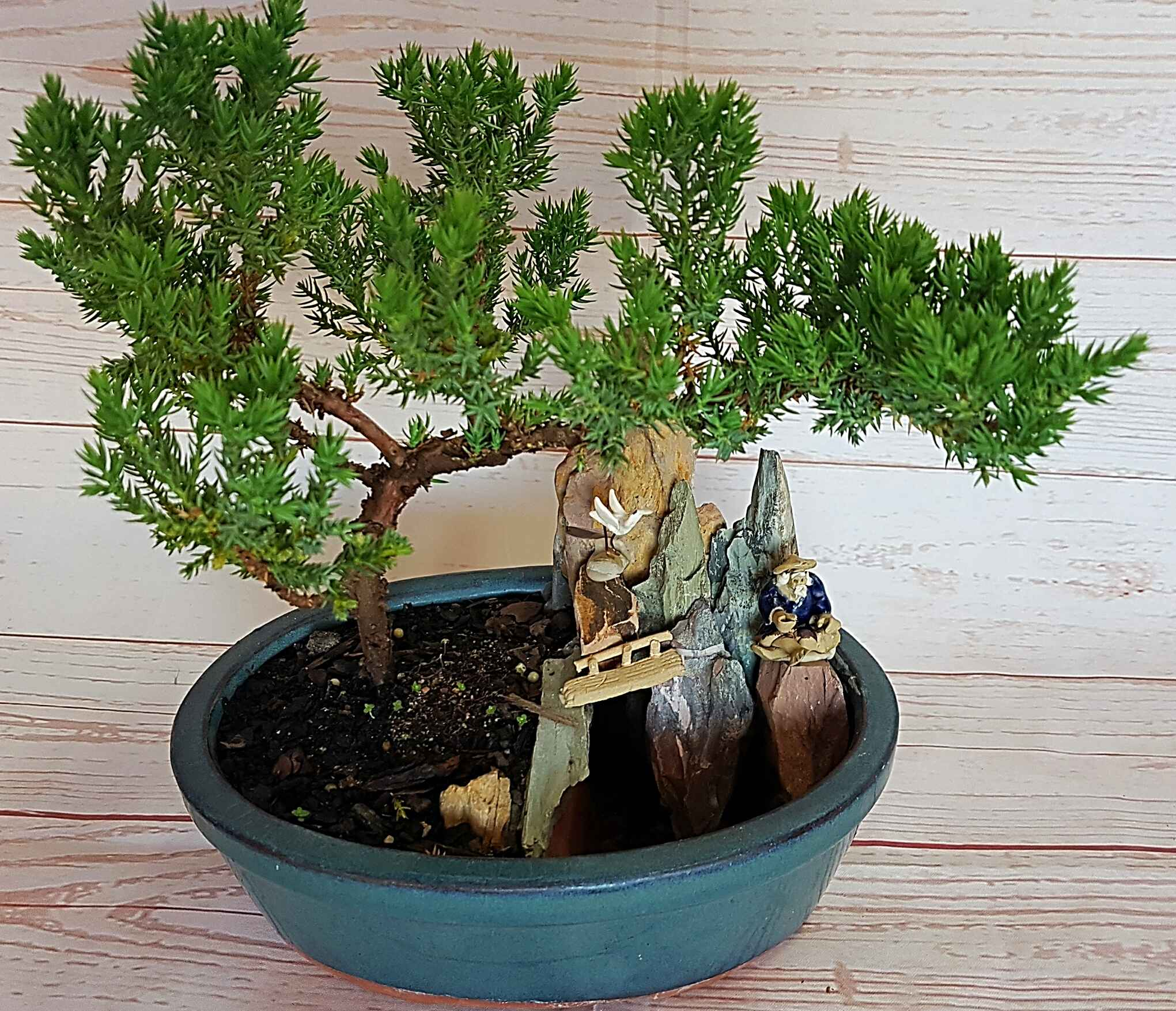 This bonsai, relaxes your mind and brings peace.  The juniper is approx 25cm in height, purchased from Bonsai grower Sam Chen, and comes complete with an instruction sheet.