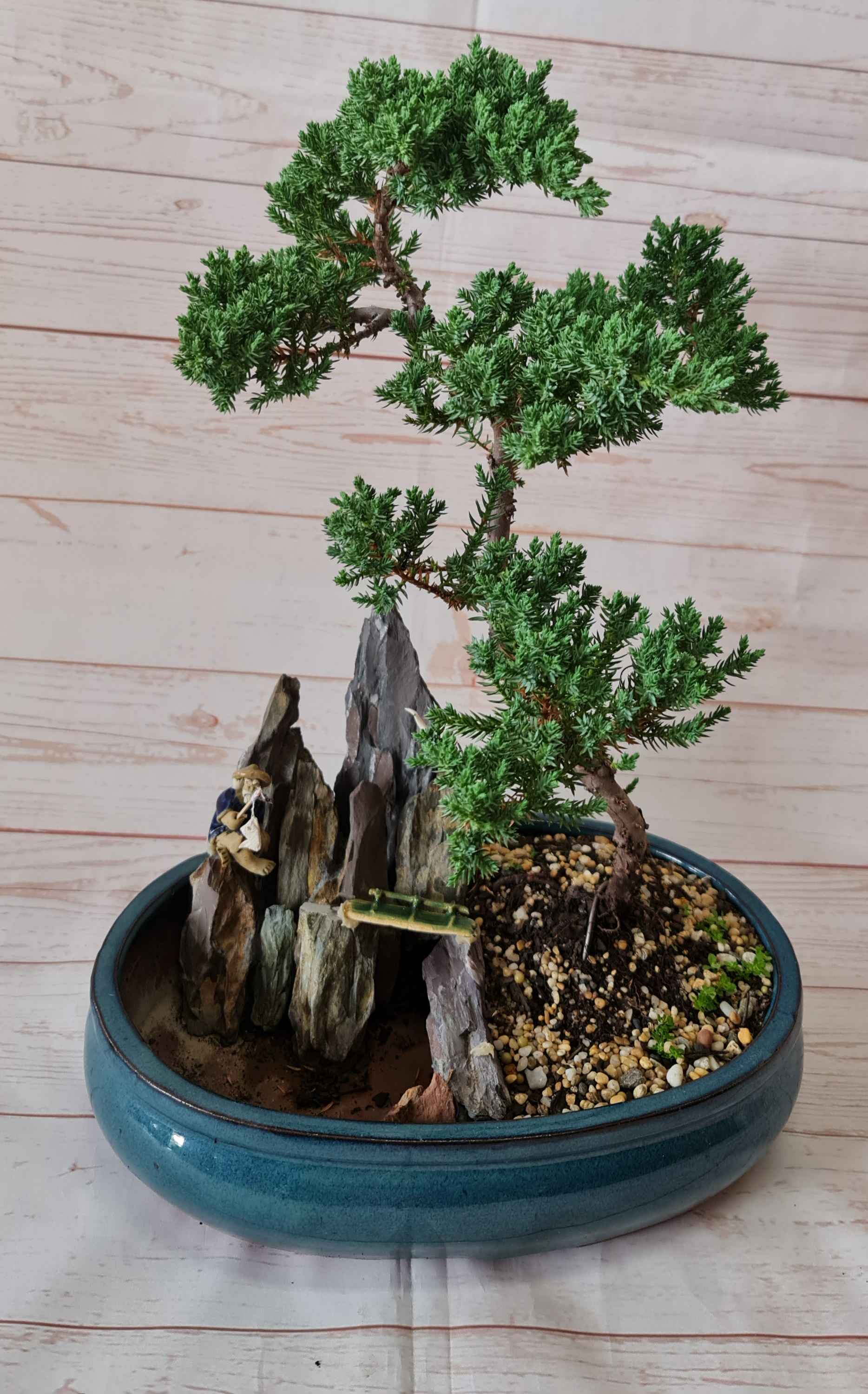 """This """"Exquisite""""  Bonsai tree, brings peace and harmony to the recipients life.  It is our largest bonsai tree, grown by Mr Chen, from Harmony Gardens.  Care instructions are included with every bonsai tree."""