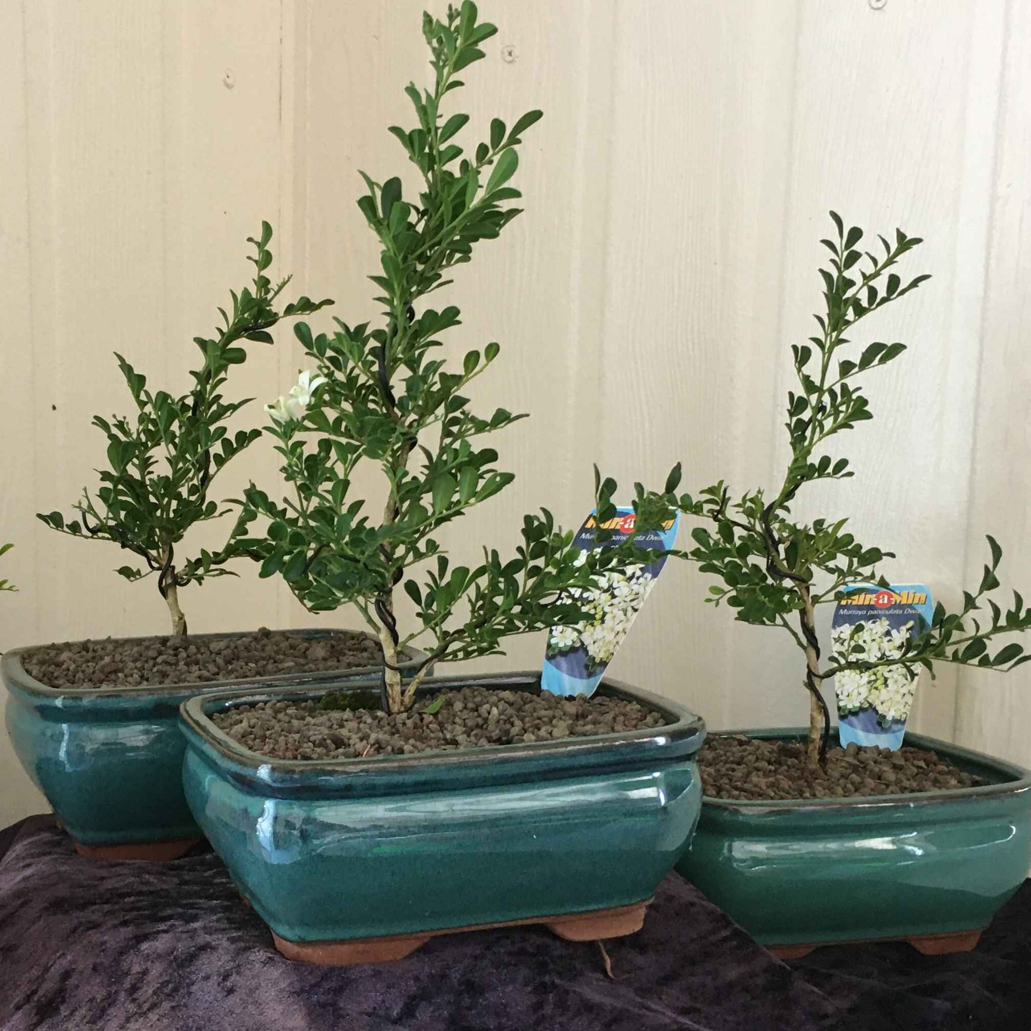 Beautiful mini murayas, that will delight any garden.  This petite Bonsai will flower delicate white blooms. This tree in training was designed by Kimberly Halter from the Bonsai Academy.   Kimberly has had 12 years of studying bonsai and Kimberly is as passionate about Bonsai, as we are with floristry.  Care instructions are included with bonsai trees.
