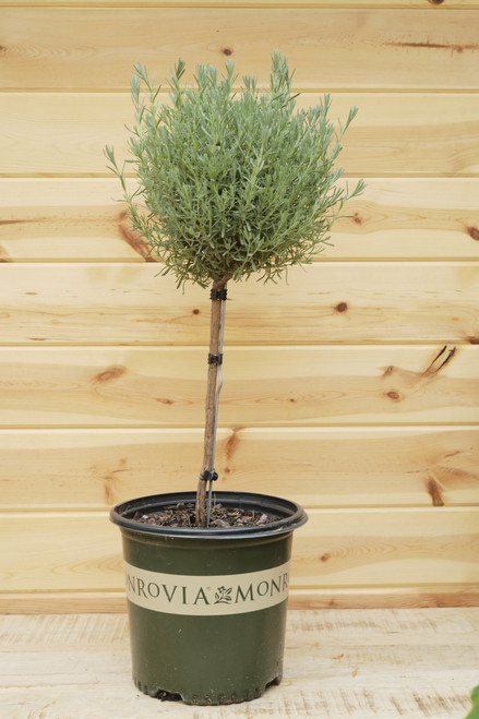 Anouk Spanish Lavender Tree