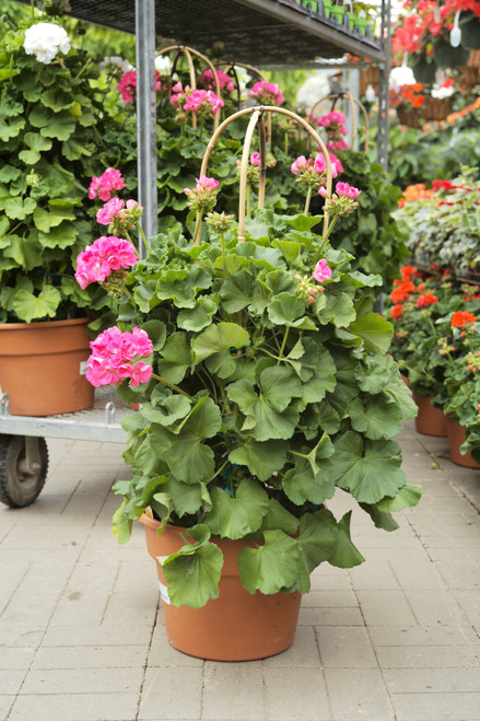 Geranium - Pillar 12 in pot