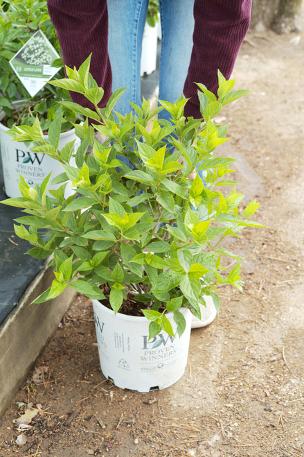 Little Lime®  Hardy Hydrangea