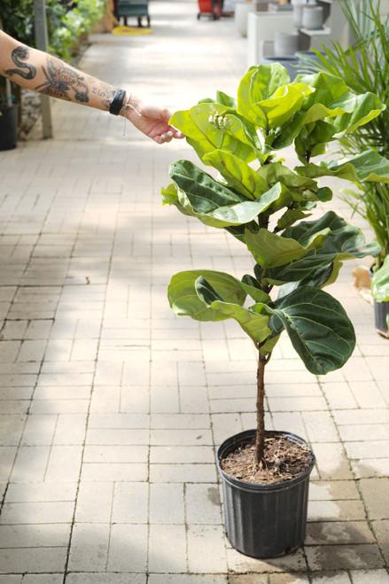 Fiddle Leaf Fig (Ficus Lyrata)
