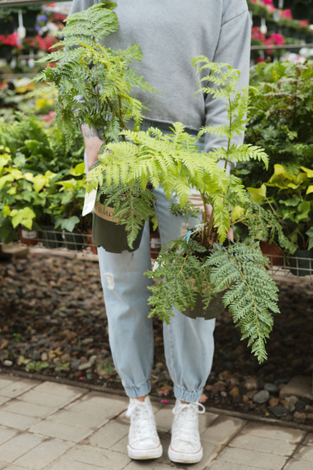 Australian Tree Fern 6 in
