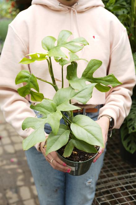 Rhaphidophora Tetrasperma 'Ginny'