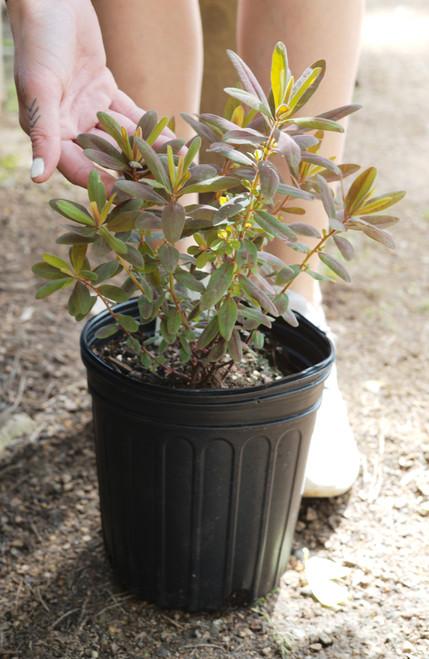 Euphorbia - 1 gal