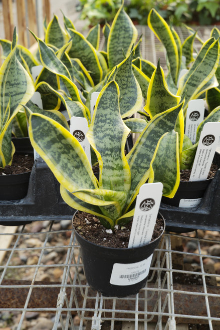 Sansevieria Twisted Sister
