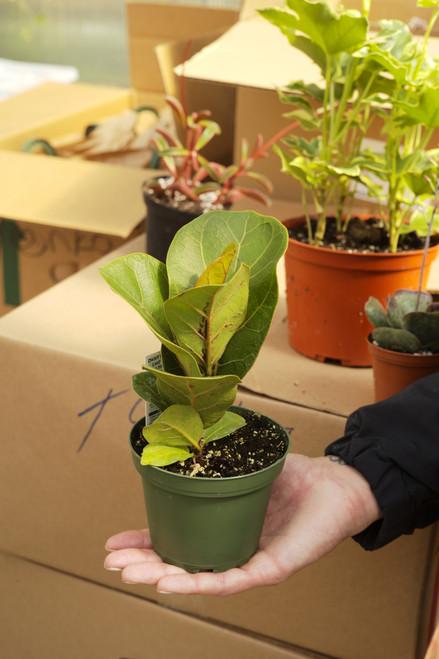 Ficus Lyrata Mini Sunshine - 4 in