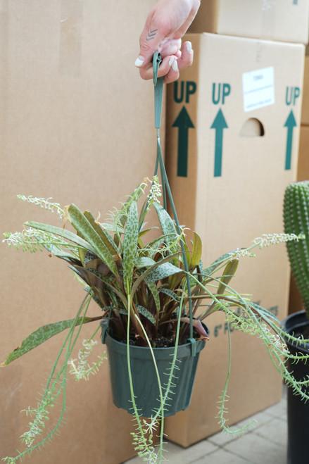 Leopard Lily (Scilla Violacea)