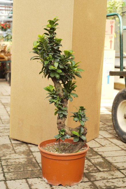 Ficus Microcarpa 10 in