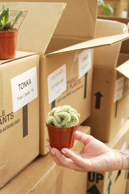 Brain Cactus (Mammillaria elongata cristata) 2 in