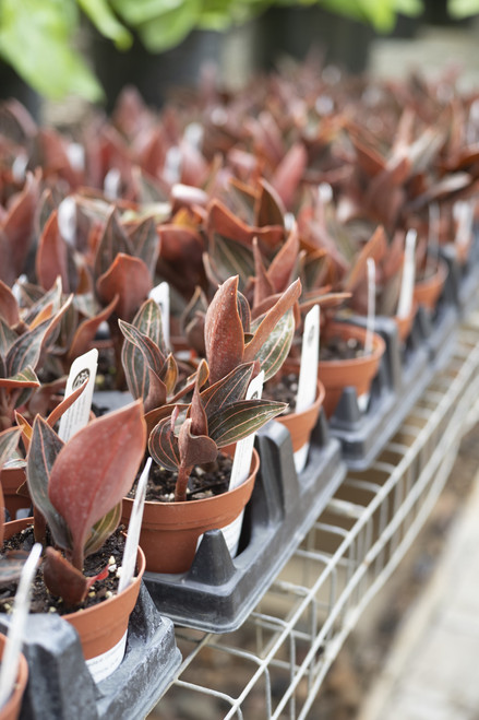 Jewel Orchid - 4 in