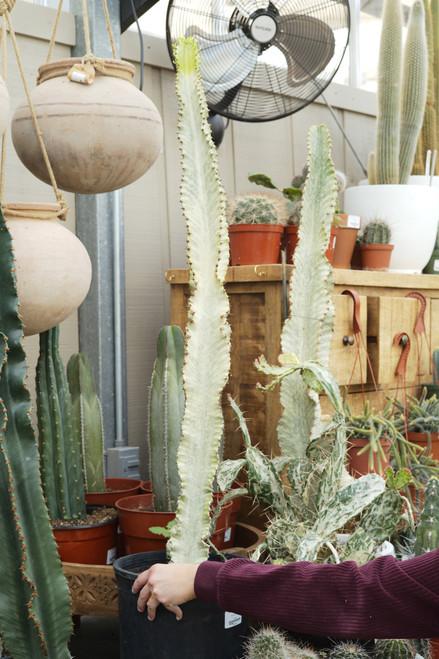 Euphorbia Ammack (African Candelabra) 10 in
