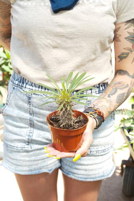 Madagascar Palm (Pachypodium Lamerii)