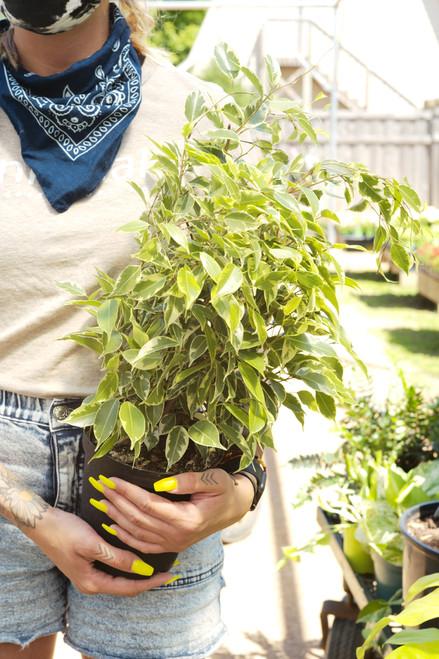 Ficus Breeze 6 in
