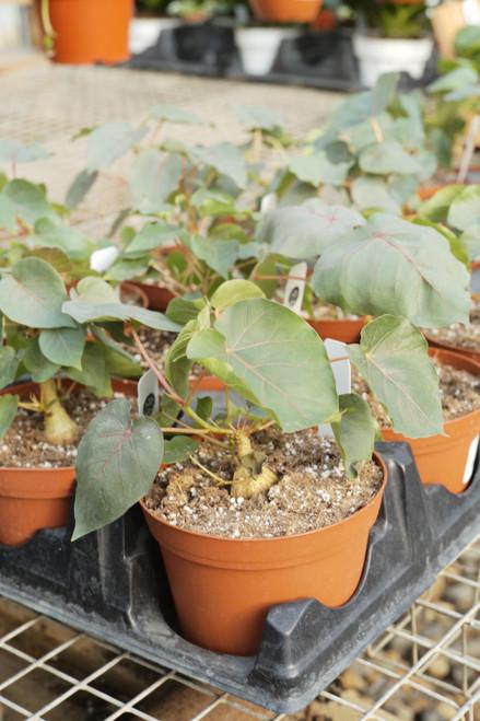 Ficus Petiolaris - 6 in