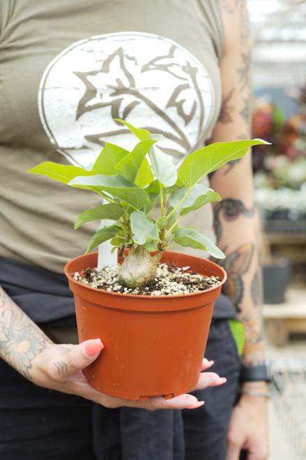 Ficus Palmeri 6 in