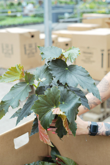 Angel Wing Begonia - 5 in