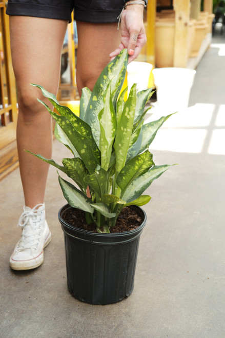 Dieffenbachia Panther 8 in