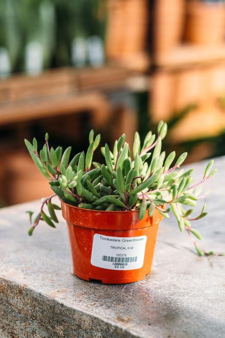 Senecio Ruby Necklace (Little Pickles)