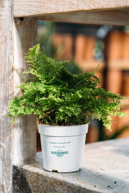 Cotton Candy Fern 4 in
