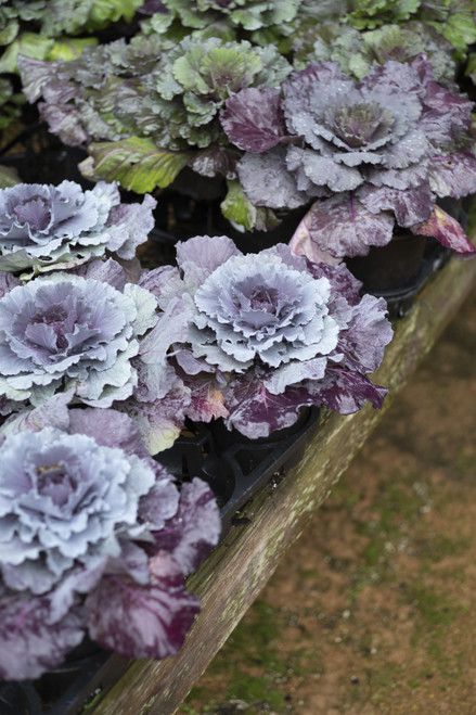 Flowering Kale & Cabbage 5 in