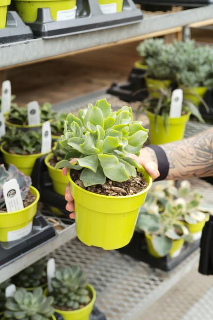 Jade Plant Jitters - 4 in