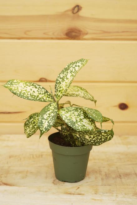 Dracaena Surculosa (Gold Dust) 4 in