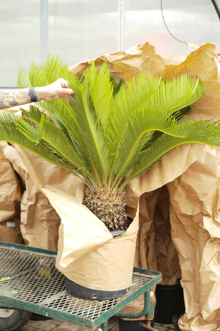 King Sago Palm 14 in