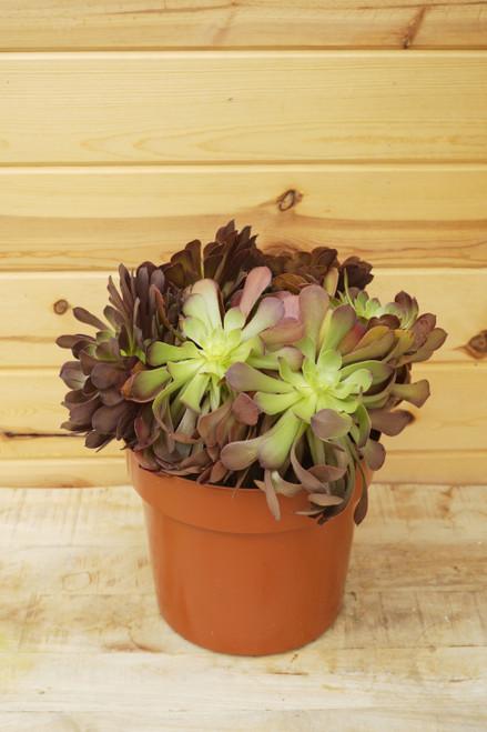 Aeonium 'Bushing Beauty' 10 in