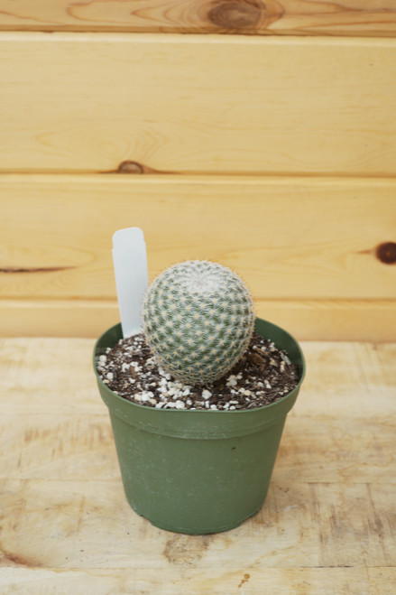 Pin Cushion Cactus (Mammilaria Elegans) - 6 in
