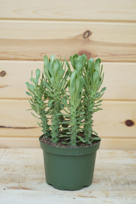 Euphorbia Guentherii (Sausage Spurge) 6 in