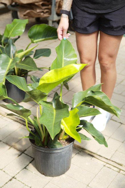 Philodendron Congo Green 10 in