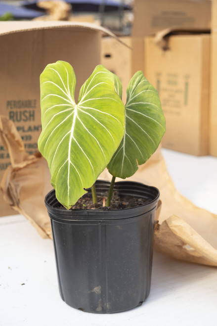 Philodendron Glorisum 10 in