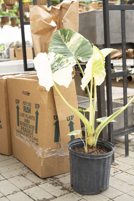 Alocasia Odora Variegated 10 in