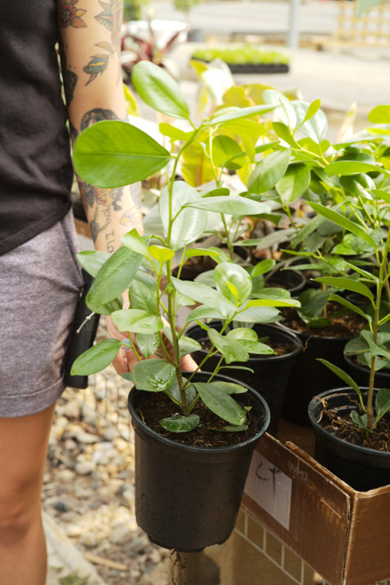 Ficus Moclame 6 in