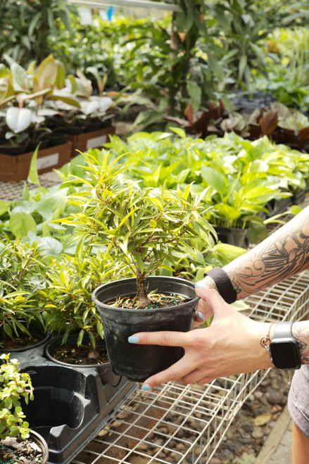 Bonsai Starts Ficus Nerifolia 6 in