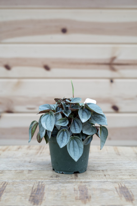 Peperomia Napoli Nights - 4 in