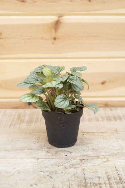 Peperomia Frost - 4 in