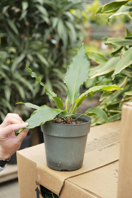 Anthurium Hookeri Ruffle 6 in