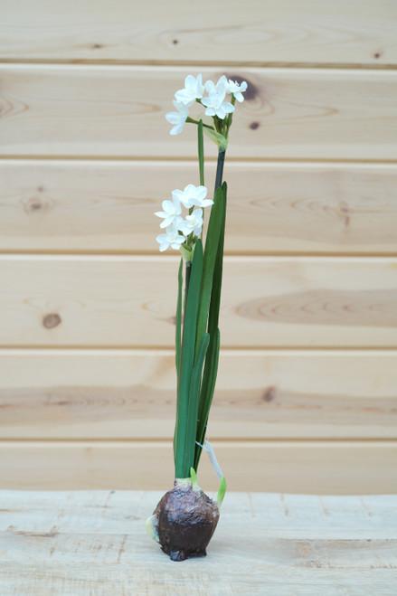 """18"""" Paperwhite Bulb (Faux)"""