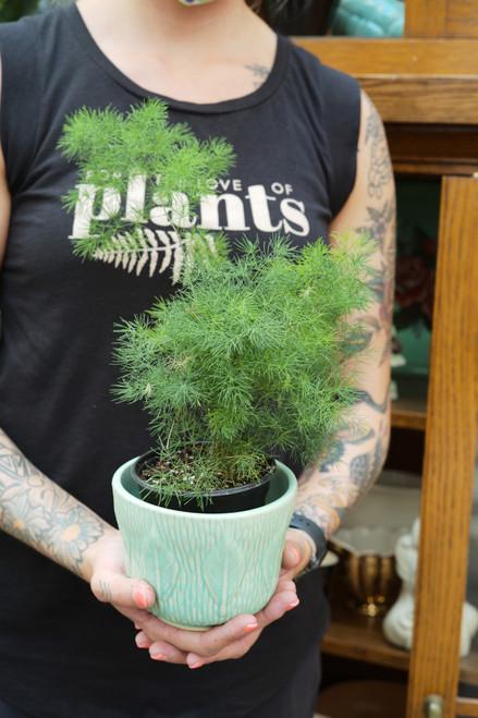 Asparagus 'Ming' Fern 4 in
