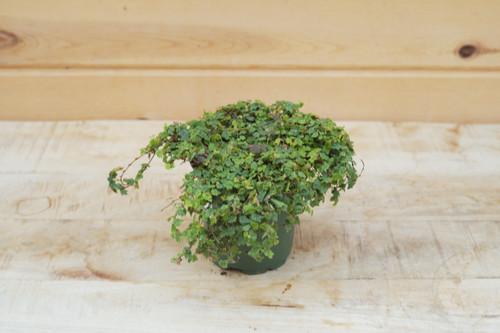 Ficus Quercifolia