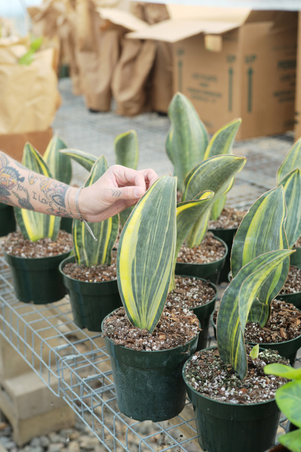 Variegated Sansevieria Whale Fin 6 in