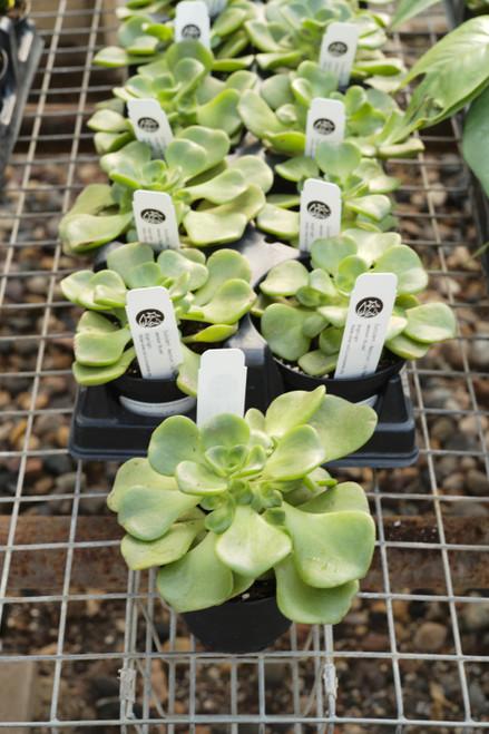 Aeonium Lily Pad (Crassula Aeonium) - 4in