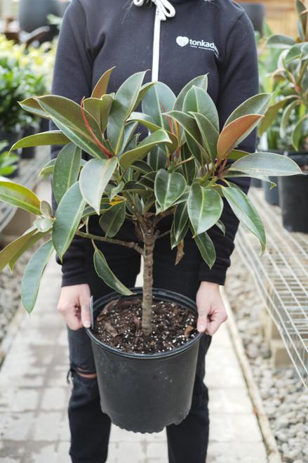 Ficus Melany